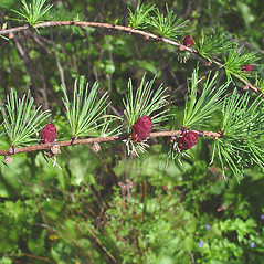 Fruits: Larix laricina. ~ By Arthur Haines. ~ Copyright © 2020. ~ arthurhaines[at]wildblue.net
