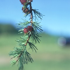 Fruits: Larix laricina. ~ By Jean Baxter. ~ Copyright © 2018 New England Wild Flower Society. ~ Image Request, images[at]newenglandwild.org
