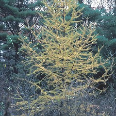 Plant form: Larix laricina. ~ By John Lynch. ~ Copyright © 2018 New England Wild Flower Society. ~ Image Request, images[at]newenglandwild.org