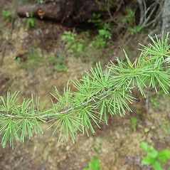 Leaves: Larix laricina. ~ By Arthur Haines. ~ Copyright © 2020. ~ arthurhaines[at]wildblue.net