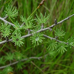 Leaves: Larix laricina. ~ By Arthur Haines. ~ Copyright © 2018. ~ arthurhaines[at]wildblue.net