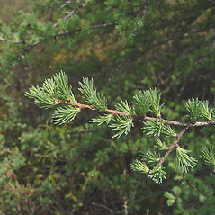 Leaves: Larix laricina. ~ By Donald Cameron. ~ Copyright © 2020 Donald Cameron. ~ No permission needed for non-commercial uses, with proper credit