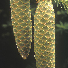 Fruits: Picea abies. ~ By Albert Bussewitz. ~ Copyright © 2019 New England Wild Flower Society. ~ Image Request, images[at]newenglandwild.org