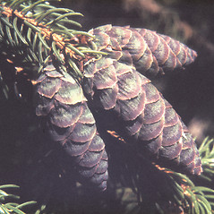 Fruits: Picea abies. ~ By Adelaide Pratt. ~ Copyright © 2019 New England Wild Flower Society. ~ Image Request, images[at]newenglandwild.org