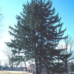 Plant form: Picea abies. ~ By John Lynch. ~ Copyright © 2018 New England Wild Flower Society. ~ Image Request, images[at]newenglandwild.org