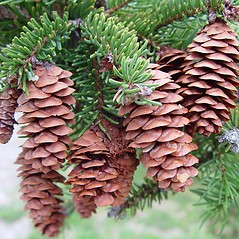 Fruits: Picea glauca. ~ By Arthur Haines. ~ Copyright © 2020. ~ arthurhaines[at]wildblue.net