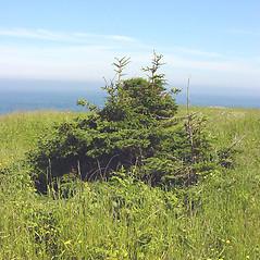 Plant form: Picea glauca. ~ By Glen Mittelhauser. ~ Copyright © 2018 Glen Mittelhauser. ~ www.mainenaturalhistory.org