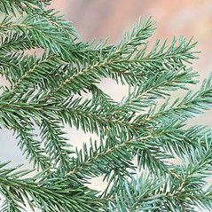 Leaves: Picea glauca. ~ By Arieh Tal. ~ Copyright © 2019 Arieh Tal. ~ http://botphoto.com/ ~ Arieh Tal - botphoto.com