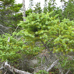Plant form: Picea mariana. ~ By Donna Kausen. ~ Copyright © 2020 Donna Kausen. ~ 33 Bears Den, Addison, ME 04606