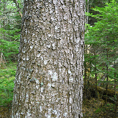 Bark: Picea rubens. ~ By Donna Kausen. ~ Copyright © 2018 Donna Kausen. ~ 33 Bears Den, Addison, ME 04606