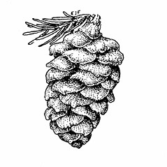 Fruits: Picea rubens. ~ By Elizabeth Farnsworth. ~ Copyright © 2018 New England Wild Flower Society. ~ Image Request, images[at]newenglandwild.org