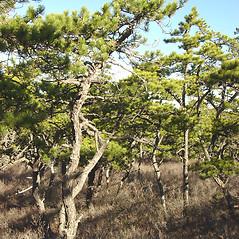 Plant form: Pinus banksiana. ~ By Glen Mittelhauser. ~ Copyright © 2018 Glen Mittelhauser. ~ www.mainenaturalhistory.org