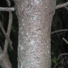 Bark: Pinus mugo. ~ By Bruce Patterson. ~ Copyright © 2019 Bruce Patterson. ~ foxpatterson[at]comcast.net