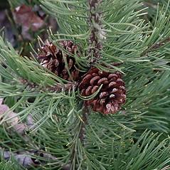Fruits: Pinus mugo. ~ By Paul S. Drobot. ~ Copyright © 2020 Paul S. Drobot. ~ www.plantstogrow.com, www.plantstockphotos.com ~ Robert W. Freckmann Herbarium, U. of Wisconsin-Stevens Point