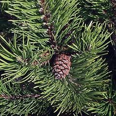 Leaves: Pinus mugo. ~ By Paul S. Drobot. ~ Copyright © 2018 Paul S. Drobot. ~ www.plantstogrow.com, www.plantstockphotos.com ~ Robert W. Freckmann Herbarium, U. of Wisconsin-Stevens Point