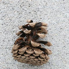 Fruits: Pinus nigra. ~ By Arieh Tal. ~ Copyright © 2019 Arieh Tal. ~ http://botphoto.com/ ~ Arieh Tal - botphoto.com