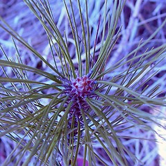 Winter buds: Pinus nigra. ~ By Arthur Haines. ~ Copyright © 2018. ~ arthurhaines[at]wildblue.net