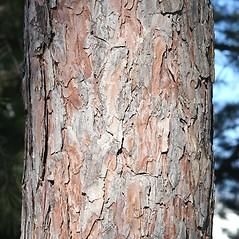 Bark: Pinus resinosa. ~ By Arieh Tal. ~ Copyright © 2019 Arieh Tal. ~ www.nttlphoto.com ~ Arieh Tal - www.nttlphoto.com