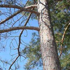 Bark: Pinus resinosa. ~ By Arieh Tal. ~ Copyright © 2019 Arieh Tal. ~ http://botphoto.com/ ~ Arieh Tal - botphoto.com