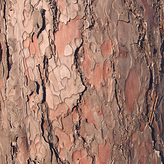 Bark: Pinus resinosa. ~ By Donna Kausen. ~ Copyright © 2017 Donna Kausen. ~ 33 Bears Den, Addison, ME 04606