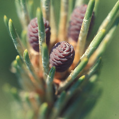 Flowers: Pinus resinosa. ~ By John Lynch. ~ Copyright © 2018 New England Wild Flower Society. ~ Image Request, images[at]newenglandwild.org