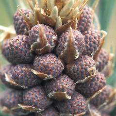 Flowers: Pinus resinosa. ~ By John Lynch. ~ Copyright © 2019 New England Wild Flower Society. ~ Image Request, images[at]newenglandwild.org
