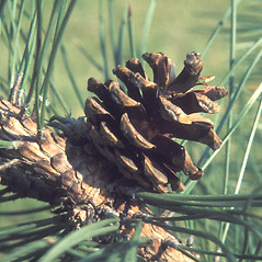Fruits: Pinus resinosa. ~ By John Lynch. ~ Copyright © 2019 New England Wild Flower Society. ~ Image Request, images[at]newenglandwild.org