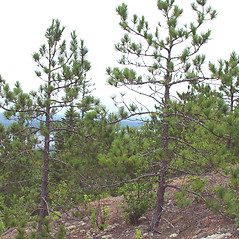 Plant form: Pinus resinosa. ~ By Arthur Haines. ~ Copyright © 2018. ~ arthurhaines[at]wildblue.net