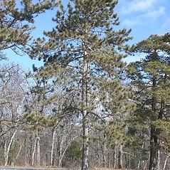 Plant form: Pinus resinosa. ~ By Arieh Tal. ~ Copyright © 2019 Arieh Tal. ~ http://botphoto.com/ ~ Arieh Tal - botphoto.com