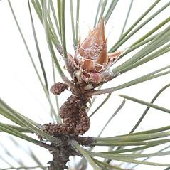Winter buds: Pinus resinosa. ~ By Arieh Tal. ~ Copyright © 2019 Arieh Tal. ~ http://botphoto.com/ ~ Arieh Tal - botphoto.com