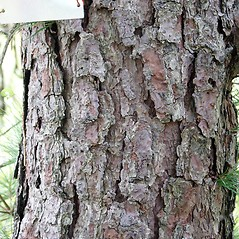 Bark: Pinus rigida. ~ By Glenn Dreyer. ~ Copyright © 2018 Glenn Dreyer. ~ None needed