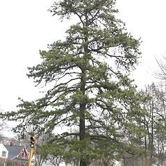 Plant form: Pinus rigida. ~ By Arieh Tal. ~ Copyright © 2019 Arieh Tal. ~ www.nttlphoto.com ~ Arieh Tal - www.nttlphoto.com