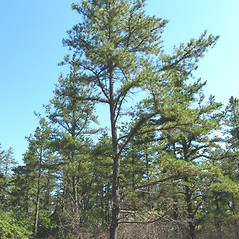 Plant form: Pinus rigida. ~ By Donna Kausen. ~ Copyright © 2018 Donna Kausen. ~ 33 Bears Den, Addison, ME 04606