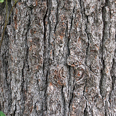 Bark: Pinus strobus. ~ By Glenn Dreyer. ~ Copyright © 2019 Glenn Dreyer. ~ None needed