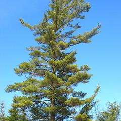 Plant form: Pinus strobus. ~ By Donna Kausen. ~ Copyright © 2020 Donna Kausen. ~ 33 Bears Den, Addison, ME 04606