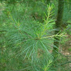 Leaves: Pinus strobus. ~ By Arthur Haines. ~ Copyright © 2018. ~ arthurhaines[at]wildblue.net