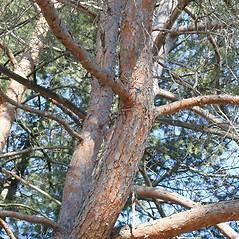 Bark: Pinus sylvestris. ~ By Arieh Tal. ~ Copyright © 2020 Arieh Tal. ~ http://botphoto.com/ ~ Arieh Tal - botphoto.com