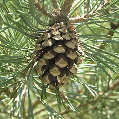 Fruits: Pinus sylvestris. ~ By Bruce Patterson. ~ Copyright © 2019 Bruce Patterson. ~ foxpatterson[at]comcast.net