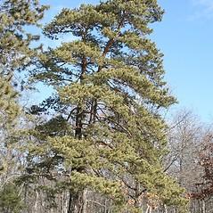 Plant form: Pinus sylvestris. ~ By Arieh Tal. ~ Copyright © 2020 Arieh Tal. ~ http://botphoto.com/ ~ Arieh Tal - botphoto.com