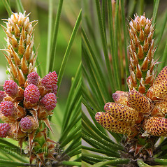 Flowers: Pinus thunbergii. ~ By Polly Ryan-Lane. ~ Copyright © 2019 Polly Ryan-Lane, Courtesy of Smith College, Michael Marcotrigiano [mmarcot[at]smith.edu]. ~ Michael Marcotrigiano, mmarcotr[at]smith.edu ~ The Botanic Garden of Smith College - www.smith.edu/garden/home.html