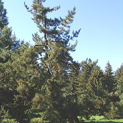 Plant form: Pinus thunbergii. ~ By Arnold Arboretum. ~ Copyright © 2020 Arnold Arboretum. ~ Arnold Arboretum Horticultural Library, hortlib[at]arnarb.harvard.edu