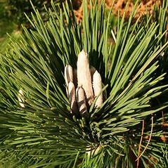 Winter buds: Pinus thunbergii. ~ By Charles Brun. ~ Copyright © 2019. ~ brunc[at]wsu.edu ~ Pacific Northwest Plants - www.pnwplants.wsu.edu/