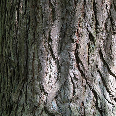 Bark: Tsuga canadensis. ~ By Alexey Zinovjev. ~ Copyright © 2020. ~ webmaster[at]salicicola.com ~ Salicicola - www.salicicola.com/