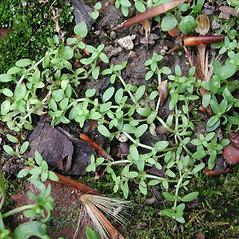 Stems: Callitriche terrestris. ~ By Robbin Moran. ~ Copyright © 2018 Robbin Moran. ~ rmoran[at]nybg.org ~ Plant Systematics - www.plantsystematics.org/
