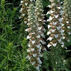 Flowers: Digitalis lanata. ~ By Paul S. Drobot. ~ Copyright © 2019 Paul S. Drobot. ~ www.plantstogrow.com, www.plantstockphotos.com ~ Robert W. Freckmann Herbarium, U. of Wisconsin-Stevens Point