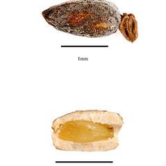 Fruits: Hippuris vulgaris. ~ By J.H. Kirkbride, C.R. Gunn, and M.J. Dallwitz. ~  Public Domain. ~  ~ nt.ars-grin.gov/sbmlweb/OnlineResources/SeedsFruits/rptSeedsFruitsFamData.cfm?thisFamily=Orchidaceae