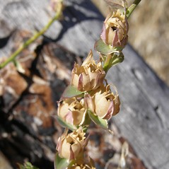 Fruits: Linaria dalmatica. ~ By Bonnie Million. ~ Copyright © 2020 CC BY-NC 3.0. ~  ~ Bugwood - www.bugwood.org/
