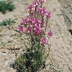Plant form: Linaria maroccana. ~ By Joseph DiTomaso. ~ Copyright © 2019 CC BY-NC 3.0. ~  ~ Bugwood - www.bugwood.org/