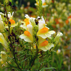 Flowers: Linaria vulgaris. ~ By Arthur Haines. ~ Copyright © 2019. ~ arthurhaines[at]wildblue.net