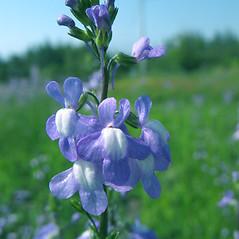Flowers: Nuttallanthus canadensis. ~ By Marilee Lovit. ~ Copyright © 2020 Marilee Lovit. ~ lovitm[at]gmail.com